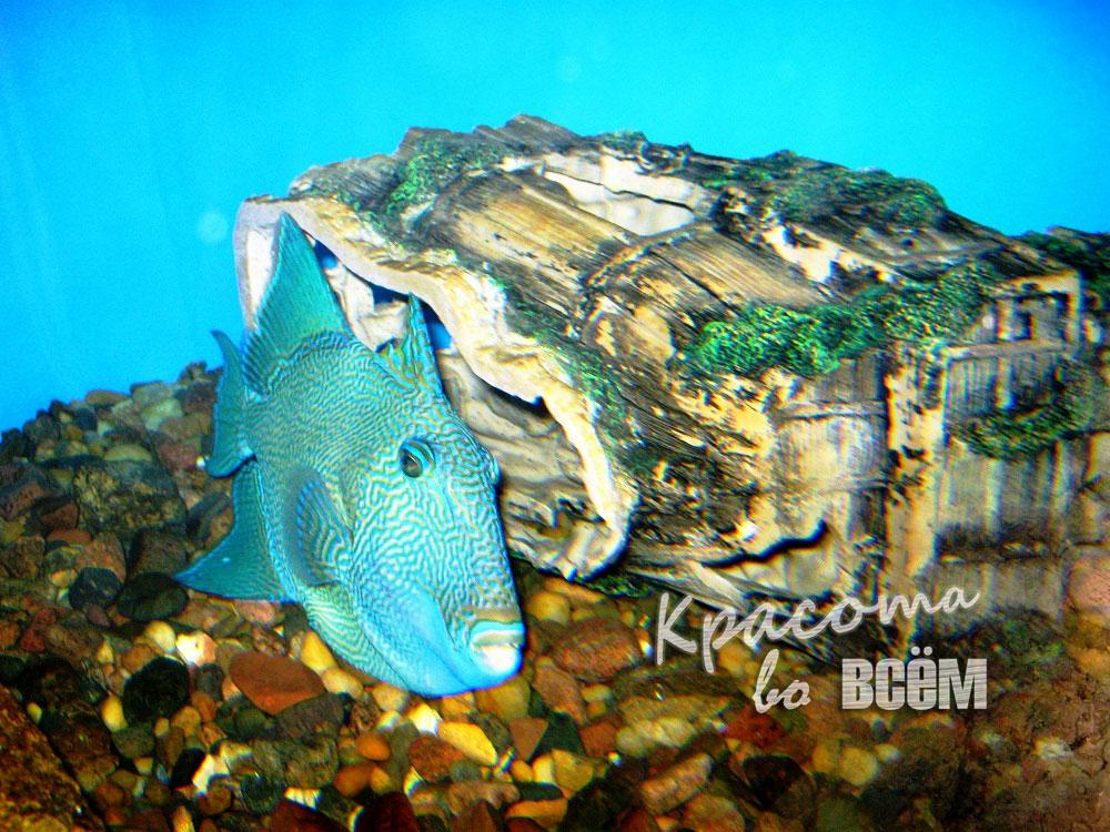 Египет. Красное море. Рыба яркого синего цвета.